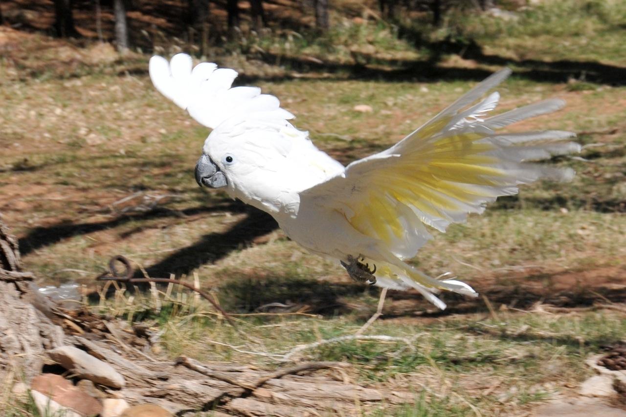 Flying Cockatoo