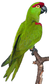 home_Parrot